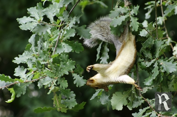 "A very acrobatic squirrel on the ""hunt""; sadly the local dog population ruined my attempts to refocus and get a proper shot..."